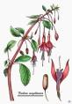 Fuchsia (Fuchsia magellanica) - Tinta y acuarela.