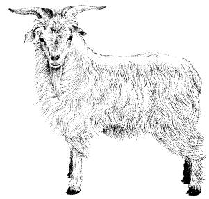 Cabra - Puntillismo - Tinta
