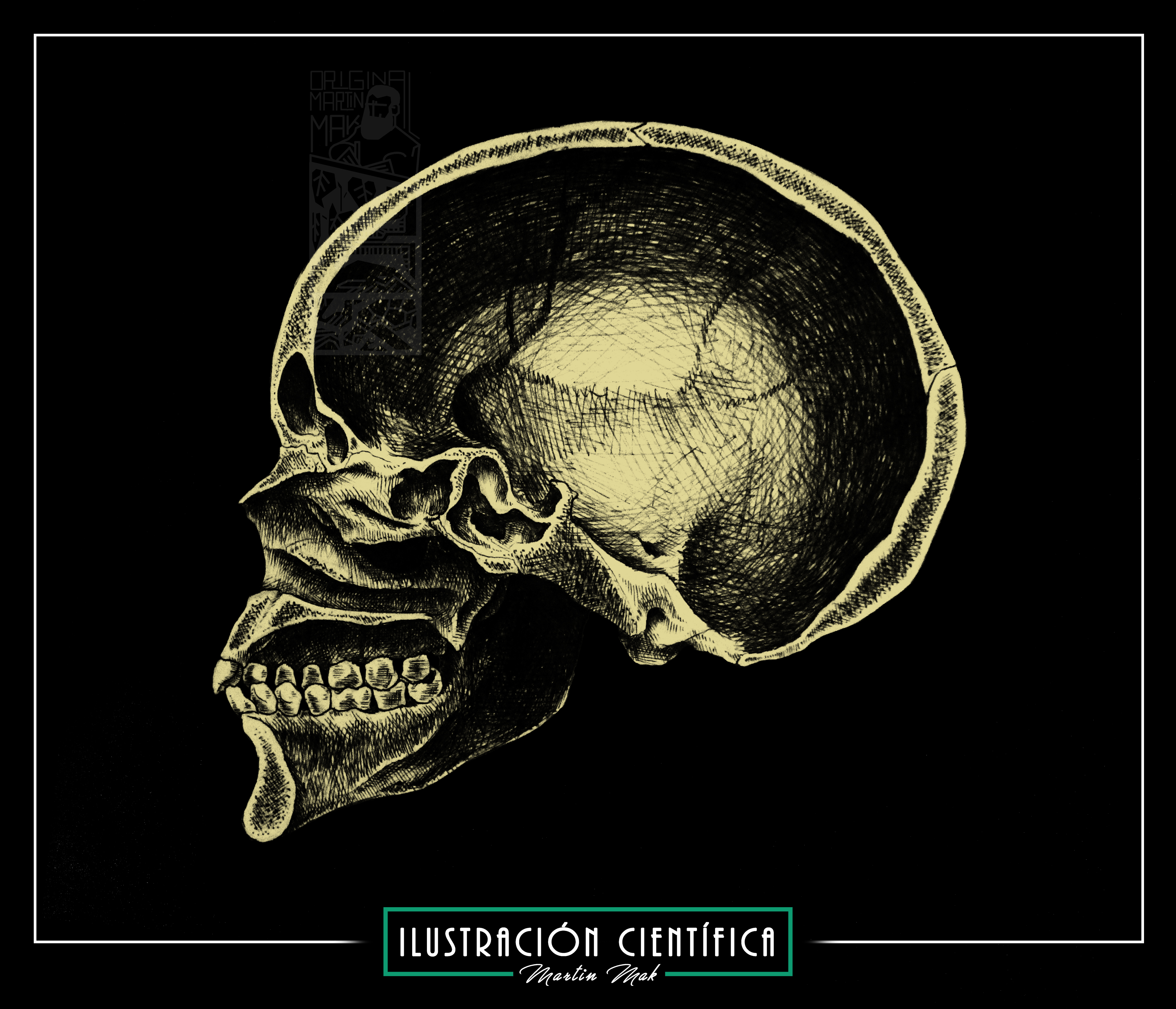 Cráneo humano -corte transversal – Martin Mak Ilustración | Martín ...