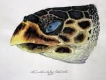 Cabeza de Tortuga Carey (Eretmochelys imbricata) - Acuarela